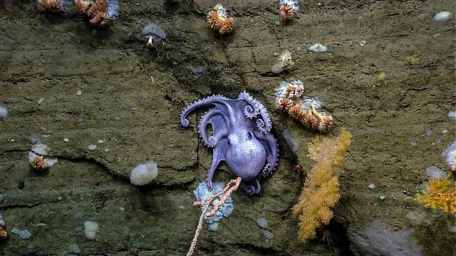 Những loài vật biển sống trong khu bảo tồn mới vừa được thành lập bắt đầu từ 240 km ở ngoài khơi bờ biển vùng New England. Credit: Nhóm nghiên cứu Canyons và chương trình khám phá của NOAA.