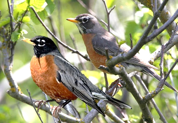 Difference Between Male And Female Robins 68