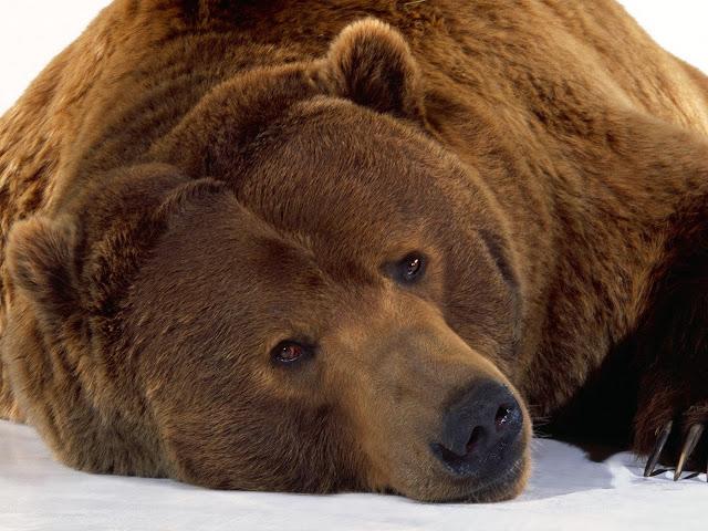 Achtergrond met een grizzlybeer