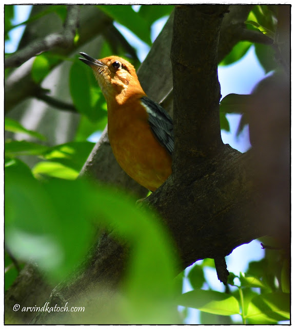 Orange-headed Thrush, singing