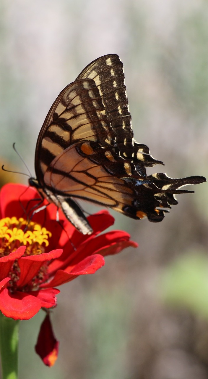 A swallowtail on a red flower.