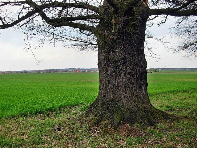 drzewa, pomniki przyrody