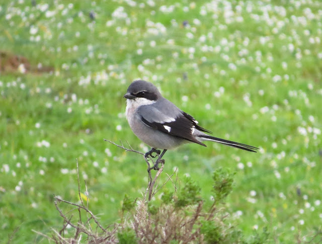 Iberian Grey Shrike - Portugal