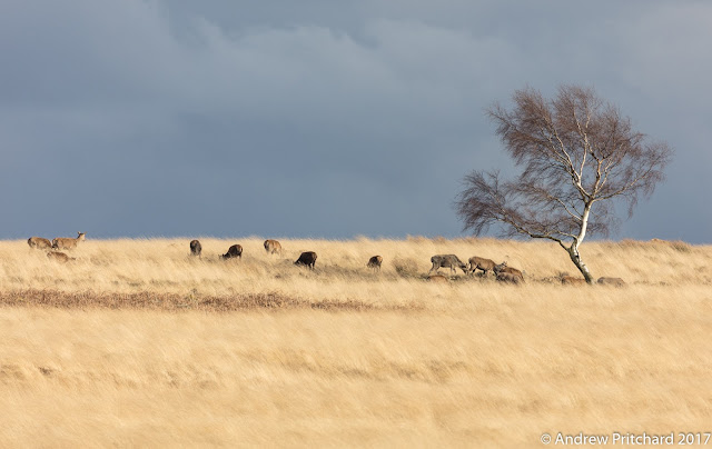 A group of deer grazing next to a solitary birch tree, with dark clouds in the background.