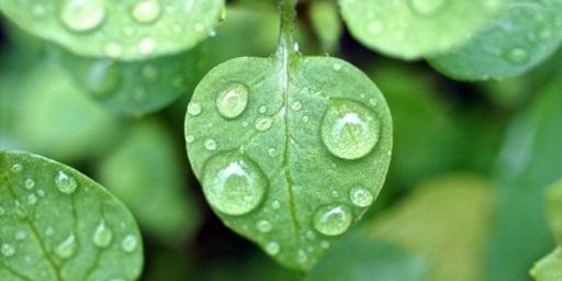 Obat Untuk Jantung Lemah Menggunakan Air Embun