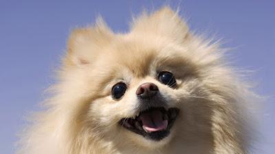 Características tips perro Chihuahua