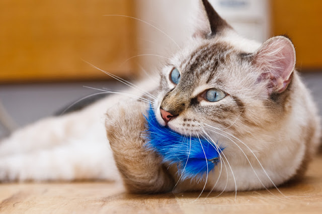 A cat plays with a toy