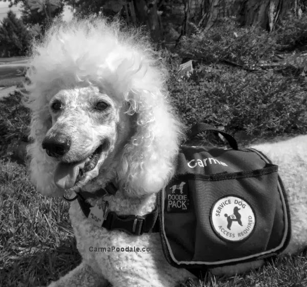 B/W photo of Carma Poodale, white standard poodle who is Medical alert service dog