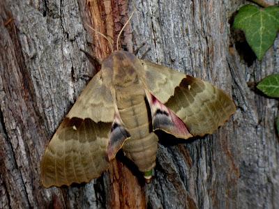 Pachysphinx modesta female
