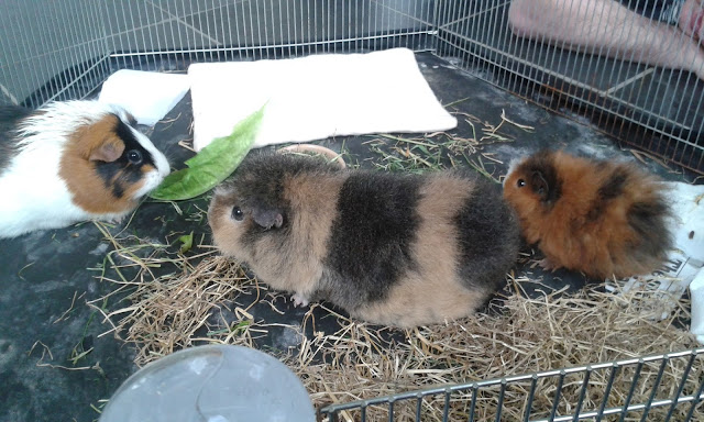Bonding baby guinea pig with adult guinea pigs