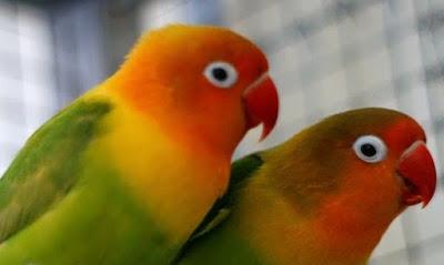 Cara Ampuh Menanggulangi Burung Love Bird Yang Mengalami Kendala Paling Lengkap