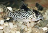 Jenis Ikan Corydorasleucomelas