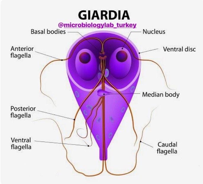 giardia onset