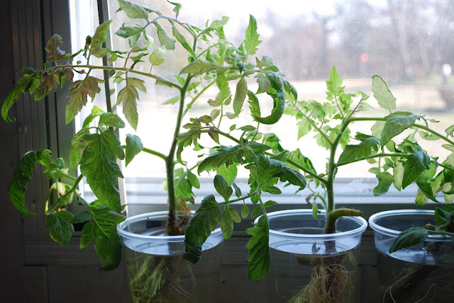 How to root tomato cuttings