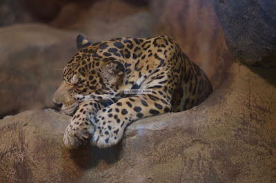 Ark Avilon Zoo - Jaguar