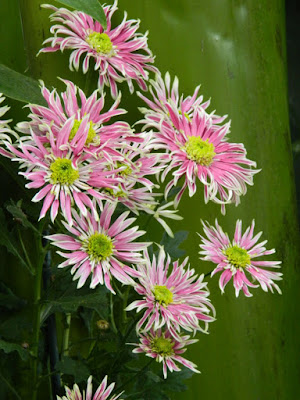 White and pink single mums at the Allan Gardens Conservatory 2015 Chrysanthemum Show by garden muses-not another Toronto gardening blog