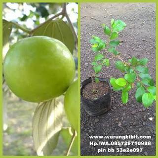 Bibit Tanaman Apel India Putsa Unggul yang Genjah dan Mudah Berbuah|Jual Bibit Tanaman Apel India Putsa Unggul yang Genjah dan Mudah Berbuah