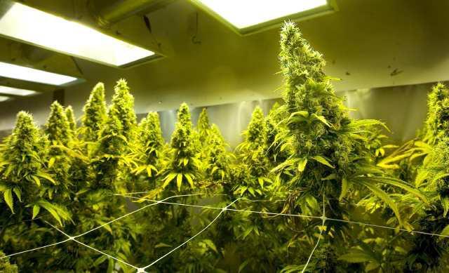 maconha medicinal - cannabis medicinal
