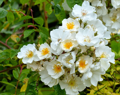 white and yellow Bobbie James roses