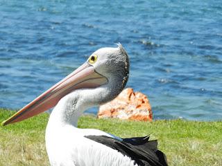 pellicano australia