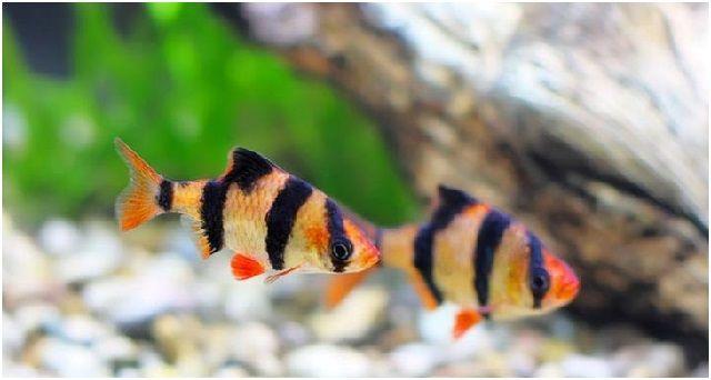 Gambar Ikan Hias Cantik – Ikan Harimau Sumatera