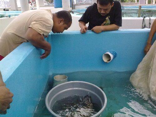 Pembenihan Ikan Kerapu