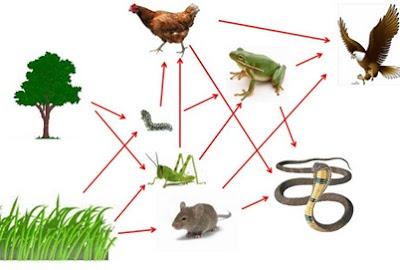 Pengertian dan Perbedaan Rantai Makanan dan Jaring-jaring Makanan