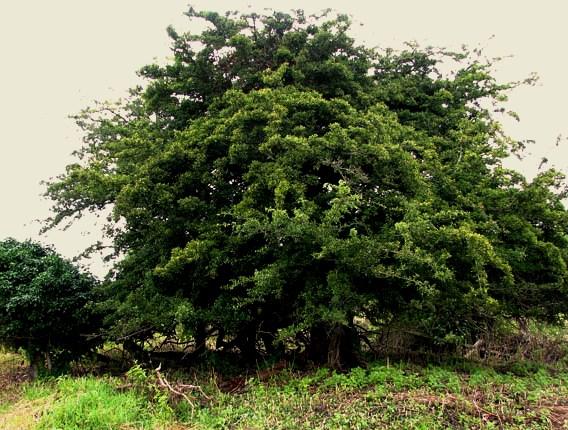 Hethel Old Thorn in Norfolk, Hawthorn folklore