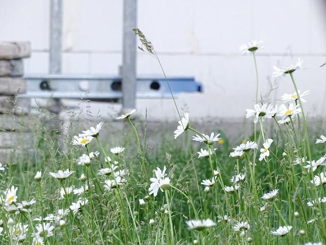 Wildblumen - Margeriten | 5 Lieblinge am Freitag | www.mammilade.blogspot.de | Personal Lifestyle Blog