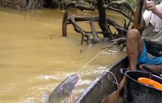 umpan jitu mancing ikan gabus,umpan jitu mancing ikan bawal,umpan jitu mancing ikan kakap,mancing ikan baung terbesar,mancing mania ikan baung,mancing ikan baung besar,umpan pancing ikan baung,