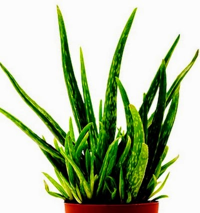 Aloe Vera (Aloe barbadensis) purifies indoor air.