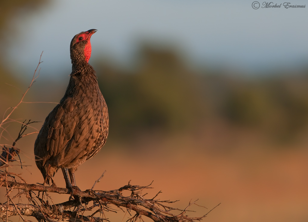 Call of the Spurfowl