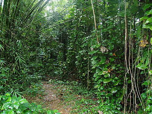 Intérieur de foret tropicale dans le Prc Nationl de Guadeloupe