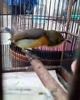 birahi kolibri ninja