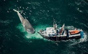 Teknologi Satelite yang Digunakan untuk Melindungi Ikan Paus yang Akan Punah