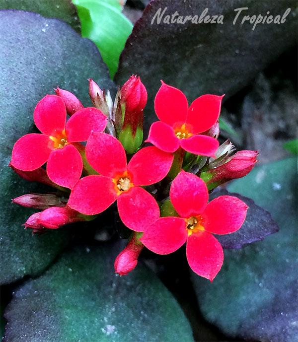 Flores de la planta purificadora Kalanchoe blossfeldiana.