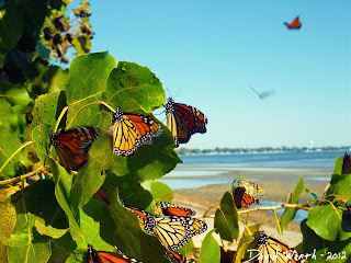 Monarch Butterfly's Migrating near Lake Erie