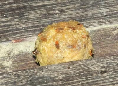 rotting frog egg cluster