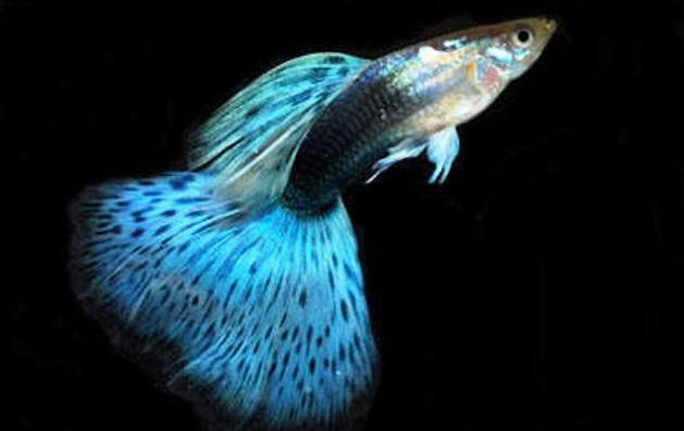 Ikan Guppy Tuxedo Biru - Cara Budidaya Ikan Guppy