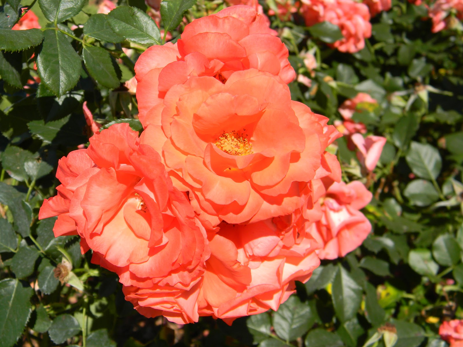 Roses In Garden: RVFulltimingLove: Rose Garden, Tyler, Tx