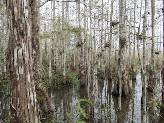 Everglades plants