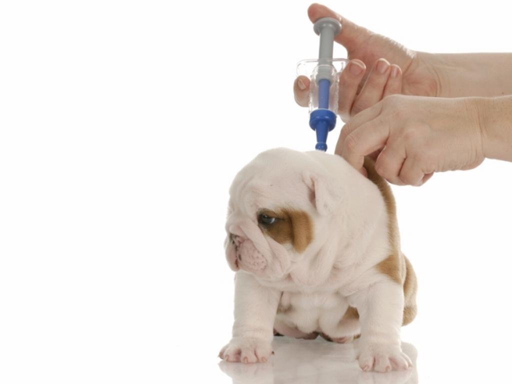 animal  Vacinas para Cães