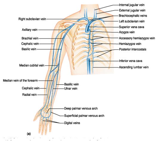 blood supply, venous drainage, surface anatomy and nerve supply to, Cephalic Vein