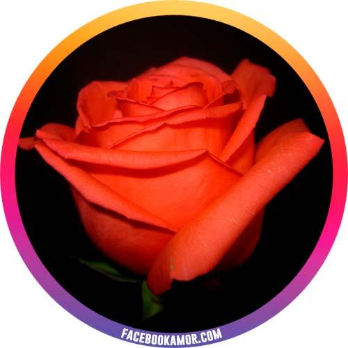 postales de rosa para perfil de instragram