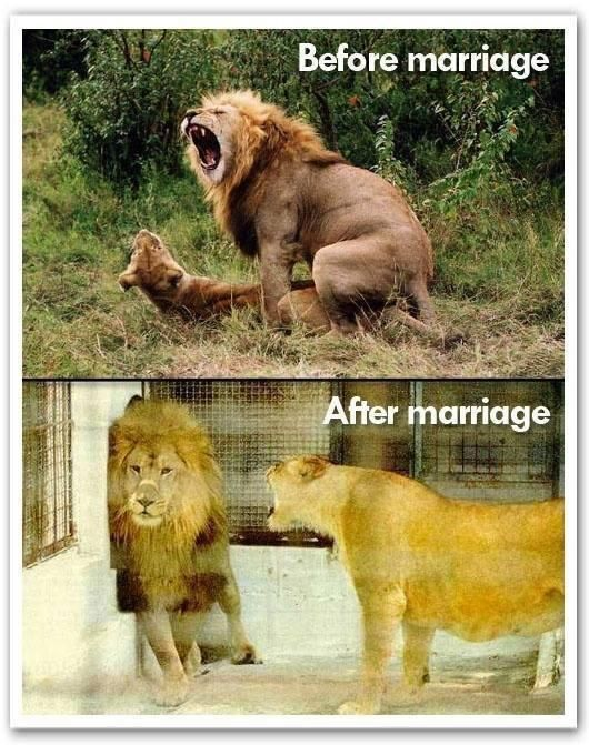 Funny Married Lions Before After Joke Picture