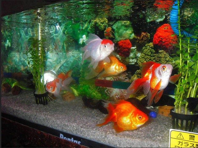 Aquascape Untuk Ikan Mas Koki