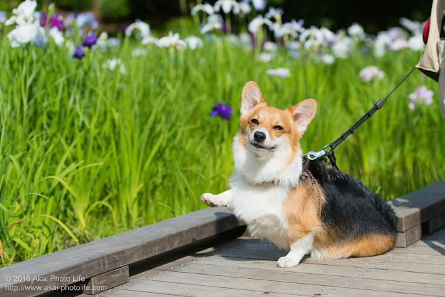 花菖蒲をバックに片手を上げてキメポーズをするコーギーの写真