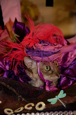 Coco, the Cornish Rex, in her stunning ensemble by Belle Diva Couture