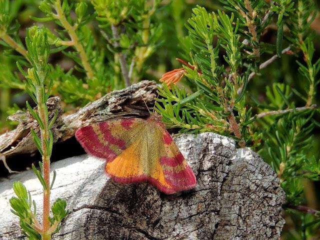 Hembra de Lythria sanguinaria