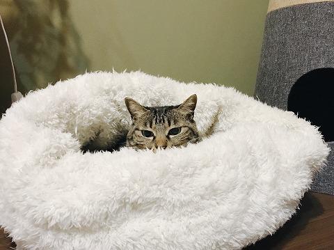猫用寝袋に埋もれてるキジトラ猫